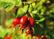 Los increíbles beneficios de la rosa mosqueta