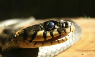 Crema de veneno de serpiente, ¿el antiarrugas definitivo?
