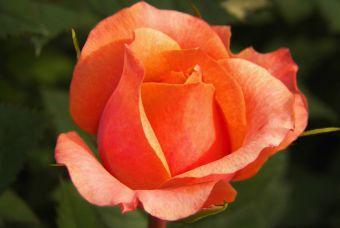 5 Usos para el agua de rosas