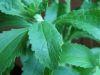 Ingredientes saludables: Stevia