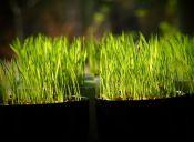 Cómo cultivar semillas y pasto de trigo en casa