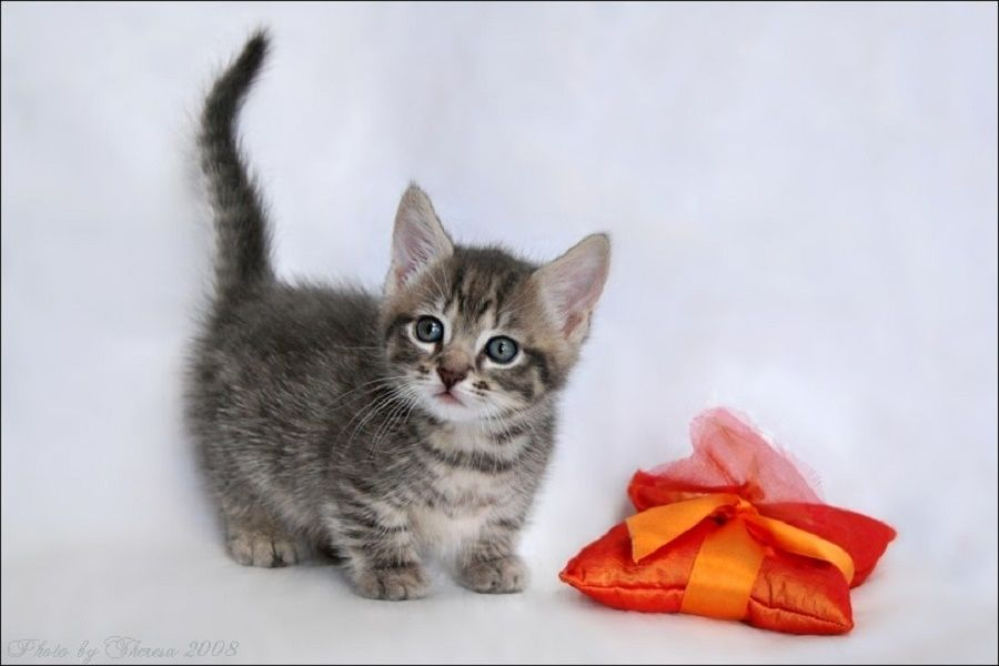 Las razas de gatos más pequeños - Mascotadictos
