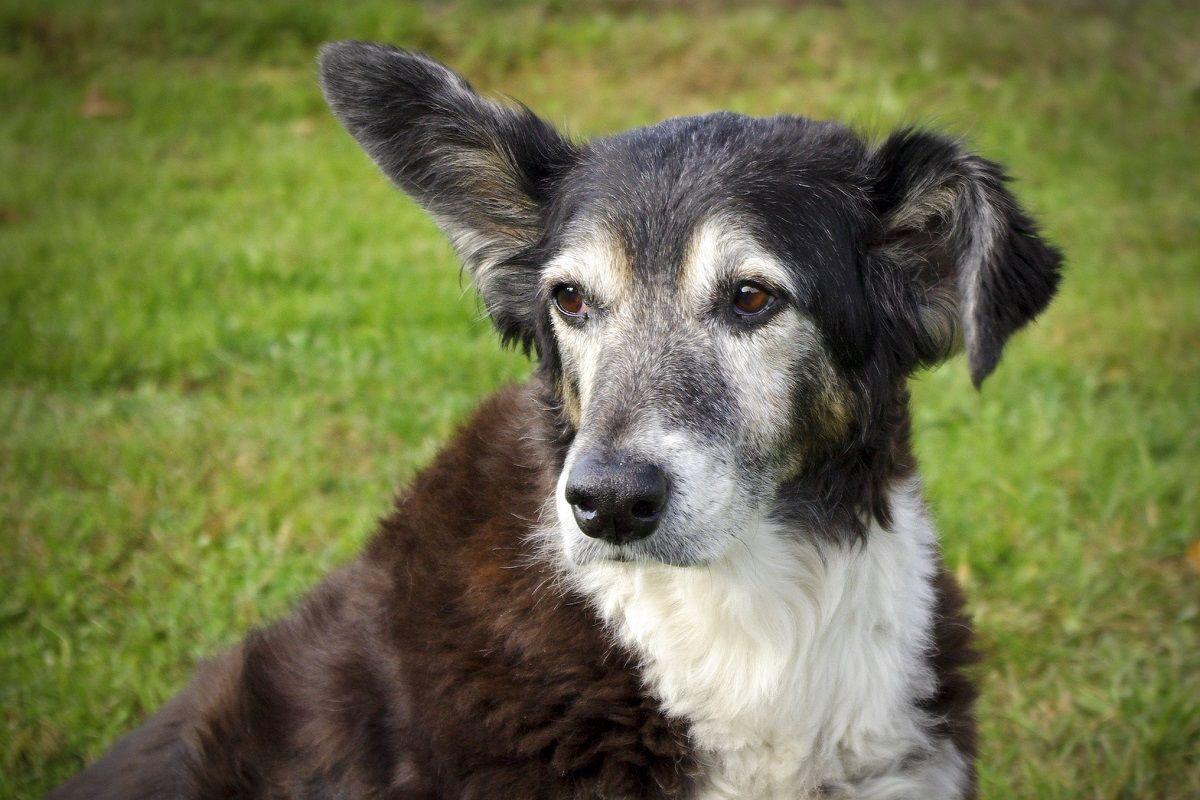 Limpieza de orejas y oídos en perros - Mascotadictos