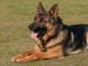 Las 6 razas de perros más grandes
