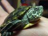 Conoce algo más sobre las singulares tortugas de orejas rojas