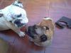 ¿Cómo tratar la sarna en perros?