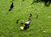 Alimentar aves silvestres es  una amenaza para las especies nativas