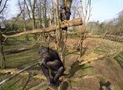 Video: Chimpancé ataca un dron en zoológico holandés