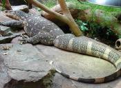 Veranos del Nilo, los reptiles que invaden Florida y que se alimentan de los gatos
