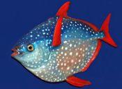 El pez Luna Real, el único en su especie que tiene la sangre caliente