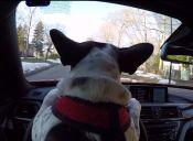 Video: Tui el perro que maneja un BMW