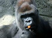 Video: Un gorila ataca a visitantes de un zoológico