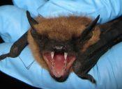 IPSA confirma el contagio de rabia por mordedura de murciélago