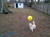 Video: Adorable perrito intenta atrapar un globo atado a su collar