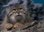 Conoce al Manul, un felino que aún vive en la soledad