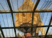Parque Safari de Rancagua, un paraíso para animales de circo maltratados
