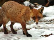 En Rusia adoptan zorros para salvarlos de los cazadores