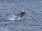 Masiva muerte de ballenas en la región de Aysén