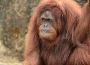 Sandra, la orangutana que tiene en jaque a la justicia argentina