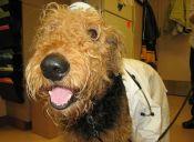 Perros trabajaran detectando cáncer de próstata en el Reino Unido
