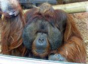 [Video] Rajang, el orangután que le gustan las embarazadas