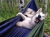 [Fotos] Loki es un lobo que supo vivir con los humanos