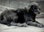 Advierten de matanza de perros callejeros en Uruguay