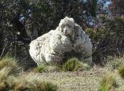 [Fotos] Esta oveja logró el Record Mundial por la gran cantidad de lana que tenía