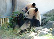 Zoológico de Japón busca crías de pandas, mediante la inseminación artificial
