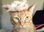 [Fotos] Los gatos se burlan de Donald Trump