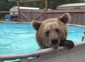 [Video] Un oso disfruta de una piscina