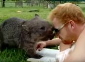 Curioso Wombat Juega con un Humano (video)