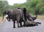 [Video] Elefantes ayudan a cría que se desmaya