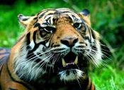 29 de julio es el Día Internacional del Tigre