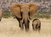 Famoso cazador muere aplastado por elefante bebé