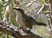 Descubren un elemento del habla humanos en un pájaro cantor