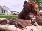 El gigante Hulk fue papá de ocho cachorros