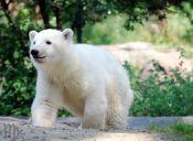 Científicos resolvieron el misterio de la muerte de famoso oso polar