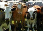 Animales ganaderos deberán ser vacunados para evitar enfermedades