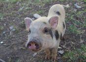 [Video] Los cerdos también pueden ser un buen compañero