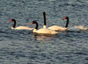 Polluelos de cisnes negros son cuidados con personal municipal