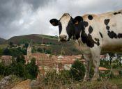 Cuatreros roban 80 vacas en La Araucanía