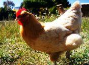 Una gallina protagoniza una persecución con la policía de California