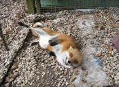 4 Videos de zorros que prueban que pueden ser como perritos