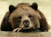 Grupo Animalista Asegura que uno de los Osos Pardo del Zoo Metropolitano Estaría muy Enfermo