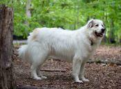 Australianos están recaudando fondos para comprar perros pastores