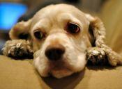 Criarán perros para la experimentación científica