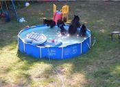 [Video] Una familia de osos se tomó una piscina para pasar el calor