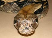 Científicos analizan como matan las boas constrictor