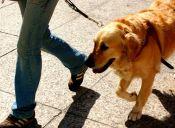 Perro lazarillo arriesgó su vida por salvar a su dueño